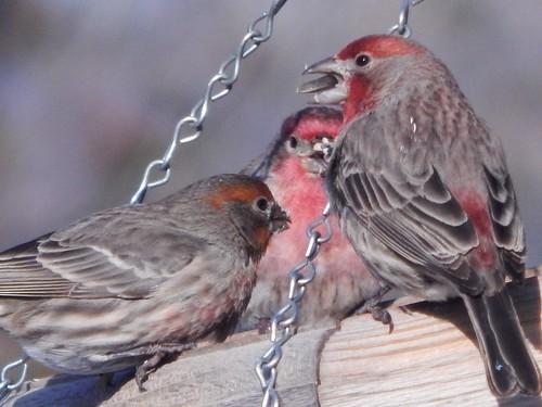Finch Friends Feeding