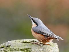 Nuthatch (LouisaHocking) Tags: nuthatch gardenbird bird southwales cyfarthfapark cyfarthfa park wild wildlife british nature merthyr merthyrtydfil woods stone