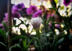 Its spring.. (mubin.ayon@ymail.com) Tags: macro nature spring flower bloom