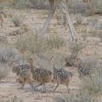 Southern Ostriches (Struthio camelus australis) chicks ... thumbnail
