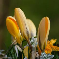 spring gold 6/100x 2019 (sure2talk) Tags: springgold crocus yellow nikond7000 nikkor85mmf35gafsedvrmicro macro closeup 100xthe2019edition 100x2019 image6100 6100x2019