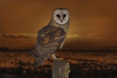 _52A0292 (Jacques van Wijlick) Tags: sun landscape barn owl