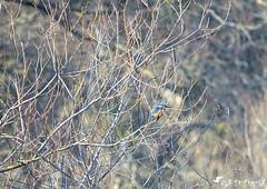 Martin pêcheur 04 (Jean-Daniel David) Tags: oiseau martinpêcheur réservenaturelle arbre branche bokeh lac lacdeneuchâtel yverdonlesbains suisse suisseromande vaud fau faune