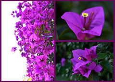 Clusters (roanfourie) Tags: flickrlounge weeklytheme tellastory triptych nikon d3400 dx gimp february 2019 flora flower flowers nature