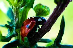 coccinelle 8 (joel.queyrel) Tags: coccinelle ladybird