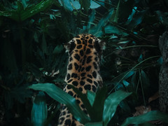 Leopard (Rob_Romano) Tags: leopard panasonic lumix g85 pansonicg85 lumixg85 animals zoo bronxzoo newyork ny nyc newyorkcity rainforest jungle myphoto 45200mm photography camera photo animal cat bigcat g85photo lumixphoto