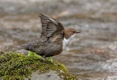 DSC7058  Dipper.. (Jeff Lack Wildlife&Nature) Tags: dipper dippers birds avian animal animals wildlife wildbirds wetlands waterways waterbirds wildlifephotography jefflackphotography reservoirs riverbirds rivers riverbanks streams countryside nature