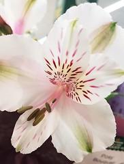 White Alstroemeria Flower (Gilli8888) Tags: cameraphone samsung s7 flower flora alstroemeria petals white northshields bloom stems