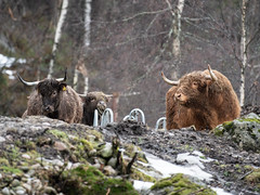 Highland cattle (Ivan Mæland) Tags: highland cattle cow animal norway