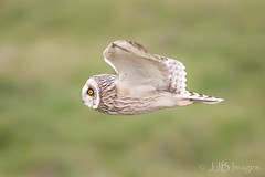 Short Eared Owls. (JJB Images) Tags: amazingnature beautiful birds beauty canon canoneos6d clear countryside country detailed eos england eyes focus fuji interesting jjbimages lumix lovelylight minolta nikon nature natural panasonic rspb tamron usm wiltshire wildlife xl zoom zoomed
