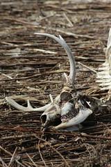 Skull (historygradguy (jobhunting)) Tags: easton ny newyork upstate washingtoncounty deer deadanimal skull bones skeleton antlers