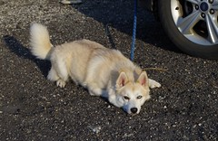 toby153 (Fan-T) Tags: toby husky siberian pomeranian pomsky rootstown dog running playing cute