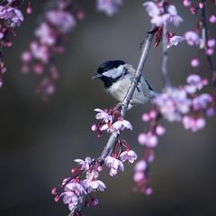 Coal tit (andywilson1963) Tags: coaltit bird wildlife nature spring blossom cherry scotland british