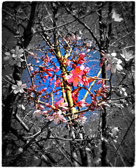 Spotting Spring (karma (Karen)) Tags: baltimore maryland cherryblossoms spring lomo selectcolor picmonkey hss topf25