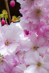 Pink heaven (judy dean) Tags: judydean 2019 batsford blossom cherry pink