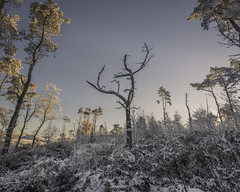 The Clearing (Malajusted1) Tags: dead tree stump death woodland forest clearing sunrise sunlight sabden higham pendle snow winter dawn ice trees barrowford black hill wood alone resilient lancashire bowland
