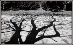 Ombre des arbres sur le sol (bleumarie) Tags: étang 30mars2019 lacdusoler lesoler mariebousquet mars2019 nikond5200 plandeau printemps2019 suddelafrance arbre bleumarie calme catalogne eau languedocroussillon méridional nature nikon occitanie parc printemps pyrénéesorientales roussillon sérénité sud végétal végétation verdure ombre silhouette noiretblanc monochrome