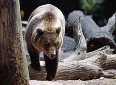 1991 Zoo Berlin Braunbär (rieblinga) Tags: berlin west zoo 1991 gehege braunbär analog canon eos 100 agfa ct100i diafilm e6