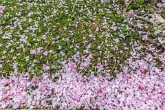 01-Chutes de pétales de cerisier fleurs (Alain COSTE) Tags: 4 maison nikon pessac sigma20mmf14 fleur herbe jardin pétales gironde france fr