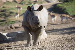 2018_02 rhino SDSP-6 (jplphoto2) Tags: jdlmultimedia jeremydwyerlindgren sandiego sandiegosafaripark blackrhino blackrhinoceros greateronehornedrhinoceros rhino rhinoceros zoo