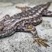 Lizard lying low