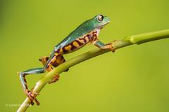 Super Tiger Legged Waxy Monkey Leaf Frog D50_8030.jpg (Mobile Lynn) Tags: amphibian frog supertigerleggedwaxymonkeyleaffrog nature captive fauna wildlife bournemouth england unitedkingdom gb coth specanimal coth5 ngc specanimalphotooftheday npc