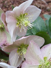 15/365: Winter Blooms (jchants) Tags: 365the2019edition 3652019 day15365 15jan19 project365 flowers blooms blossoms hellebore winterrose