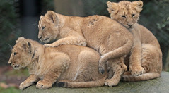 asiatic lion Blijdorp 094A1498 (j.a.kok) Tags: animal asia azie asiaticlion aziatischeleeuw blijdorp mammal zoogdier dier predator leeuw lion pantheraleopersica