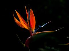 Estrelitzia reginae in backlight (heikki.nylund) Tags: estrelitziareginae backlight visitorscentre centrodevisitantes lagomera sansebastiándelagomera canaryislands spain