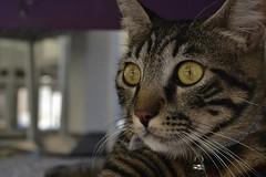 """""""A me gli occhi!!"""" (mirella cotella) Tags: cats animals eyes details closeup portraits macro colors tones gatos chats gatti"""