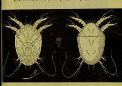 This image is taken from Page 107 of Les acariens parasites [electronic resource] (Medical Heritage Library, Inc.) Tags: acari arachnid vectors wellcomelibrary ukmhl medicalheritagelibrary europeanlibraries date1892 idb20406186