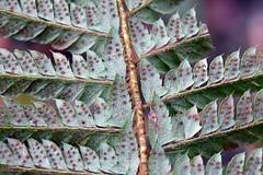 Soft Shield Fern ... Polystichum setiferum (AndyorDij) Tags: softshieldfern polystichumsetiferum andrewdejardin wildflowers england empingham rutland empinghamwildflowers uk unitedkingdom