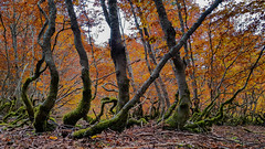 Twisted trees (SimonFRS) Tags: smartphone nature naturephotography tree trees forest autumn landscape orange green mysterious samsung s8 amateur outside woods