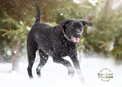 Picture of the Day (Keshet Kennels & Rescue) Tags: adoption dog ottawa ontario canada keshet large breed dogs animal animals pet pets field nature photography winter snow black lab spray play happy