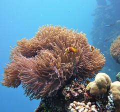 Amphiprion akallopisos in Heteractis magnifica (kmlk2000) Tags: maldives vacation sea ocean sealife sun blue underwater fish poisson beach reef