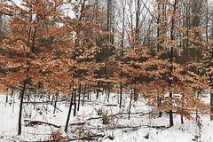 Winter woodland wanders