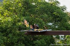 Birds in Drake Bay (adventurousness) Tags: drake bay wildlife costa rica travel traverling birds parque nacional corcovado bahia photo photography traveler bahiadrake costarica drakebay parquenacionalcorcovado travelphoto travelphotography