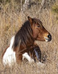 Strike a pose (Deb Felmey) Tags: pony horse horses wildhorses assateague wild nature animals