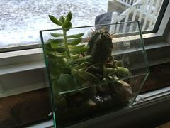 Canadian Succulents (cogdogblog) Tags: succulent cactus