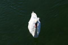 Vacances_0802 (Joanbrebo) Tags: bodensee llac lago lake lac konstanz badenwürttemberg de deutschland ocells pájaros birds canoneos80d eosd efs1855mmf3556isstm autofocus animals animales