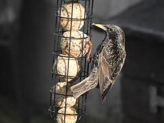 Etourneau sansonnet (chriscrst photo66) Tags: bird animal oiseau etourneau sansonnet jardin nourriture mangeoire refuge lpo photographie nature wildlife ornithologie photography ornithology nikon