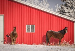 Seeing heat (Tracey Rennie) Tags: bittercold snow shelter magpie horse red barn cochrane hss