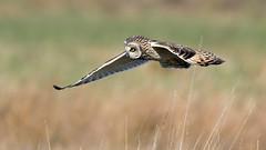 Short-eared Owl (NickWakeling) Tags: shortearedowl owl canoneos7dmarkii sigma150600mmf563dgoshsmcontemporary norfolk uptonfen