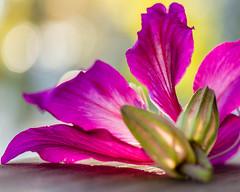 Constant (risaclics) Tags: crazy tuesdays bokeh make me smilepink60mm macrojanuary 2019nikon d610dfloraflowerscrazy tuesdaysbokehmakemesmile pink 60mmmacro january2019 nikond610d flora flowers d610d