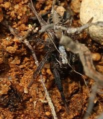male Alopecosa  cf barbipes lycosidae (BSCG (Badenoch and Strathspey Conservation Group)) Tags: acm arachnid spider lycosidae february sand alopecosa male