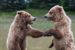 _HB30538 (Hilary Bralove) Tags: lakeclarknationalparkbrownbearsbearsalaskanikonwildlifegrizzlygrizzlybearbrownbearanimalswildlifephotographer alaksa brownbears grizzlybears bear bears grizzly brownbeargrizzly bearlake clarkwildlifealaska wildlifenikonlake clark national park