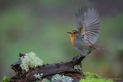 PETIRROJO (Carlos Cifuentes) Tags: petirrojo paporrubio erithacusrubecula europeanrobin wildlife wildlifenature wild bird birds carloscifuentes