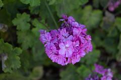 IMG_1320 (jaglazier) Tags: 122018 2018 cerrosantalucia chile december santalucia santiago urbanism cities copyright2018jamesaglazier flowers gardens geraniums parks plants purple