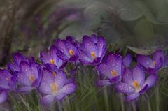 Crocus (celestino2011) Tags: helios442zenit nikond7000 macro crocus natura giardino