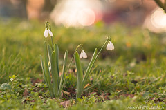 Snowdrops (Alexandre D_) Tags: closeup wideopen availablelight naturallight backlight backlighting shallowdof bokeh bokehlicious beyondbokeh extremebokeh smoothbokeh nature dreamy soft zen green spring europe macro makro canon eos 70d color colors couleur bokehoftheday bokehful dream nice beautiful flower plant grass colorful couleurs flowers fleur macrophotography macrophotographie closerandcloser proxy billymontigny france hautsdefrance sun sunnyday fineart art tamron snowdrop snowdrops perceneige warm golden goldenlight winter perspective trees jupiter6 m39 m42 vintagelens manuallens sovietlens 180mmf28